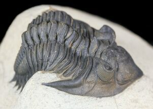 "Buy Detailed 1.9"" Metacanthina (Asteropyge) Trilobite - Lghaft - #54334"