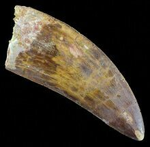 "3.56"" Serrated Carcharodontosaurus Tooth - Huge Tooth For Sale, #52466"