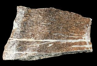 Liopleurodon sp. - Fossils For Sale - #53478