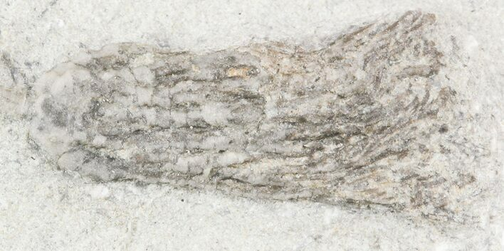 ".75"" Abrotocrinus Crinoid - Crawfordsville, Indiana (Reduced Price)"