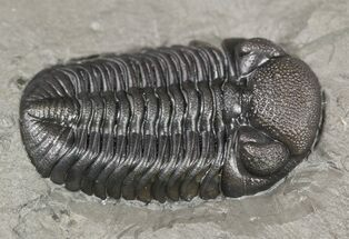 ".95"" Prone Eldredgeops (Phacops) Trilobite - New York For Sale, #54998"