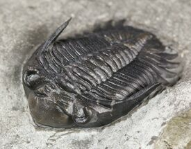 "1"", Uncommon Greenops Trilobite - New York  For Sale, #55007"