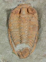 "Buy .95"" Orange Bathycheilus Trilobite - Zagora, Morocco - #55144"