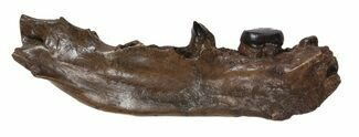 "2.1"" Partial Didelphodon Jaw - Cretaceous Marsupial Mammal For Sale, #54911"