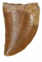 "Serrated, .89"" Juvenile Carcharodontosaurus Tooth For Sale, #55772"