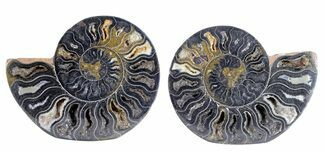 Cleoniceras - Fossils For Sale - #55608