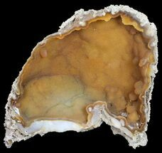 "7.7"" Agatized Fossil Coral (Sparkly Chalcedony) - Florida For Sale, #56128"