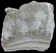 Stromatolite - Fossils For Sale - #56163