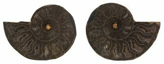 "Buy 2.4"" Split Black/Orange Ammonite Pair - Unusual Coloration - #55561"