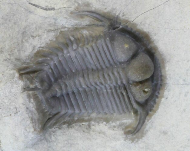 Double Cyphaspides Trilobite (Jorf, Morocco) - Cyber Monday Deal!