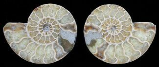 "3"" Polished Ammonite Pair - Agatized For Sale, #56297"
