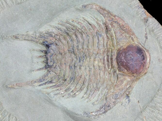 "2.45"" Long Chlustinia Trilobite - Rare Species"