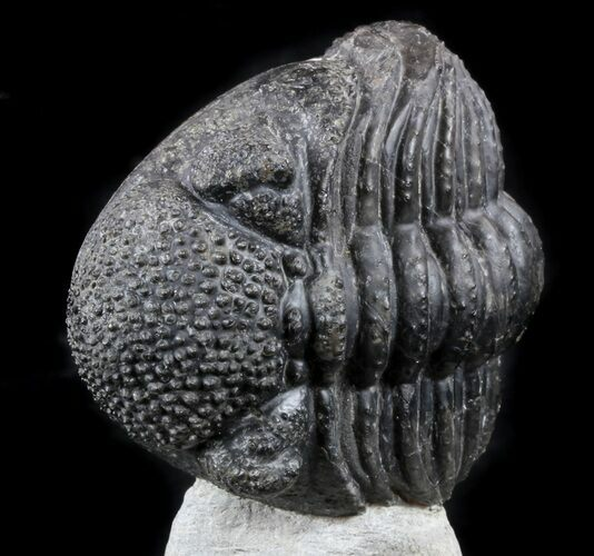 "Enrolled 5"" Drotops Trilobite On Pedastal of Rock"