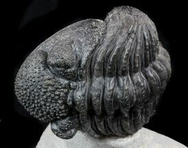 "Enrolled 5"" Drotops Trilobite On Pedastal of Rock For Sale, #56804"