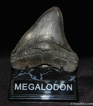 Carcharocles megalodon - Fossils For Sale - #60