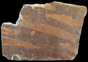"Buy 10"" Polished Stromatolite (Jurusania) From Russia - 950 Million Years - #57550"