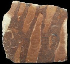 "Buy 7.5"" Polished Stromatolite (Jurusania) From Russia - 950 Million Years - #57556"