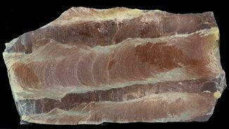 "Buy 7"" Polished Stromatolite (Jurusania) From Russia - 950 Million Years - #57565"