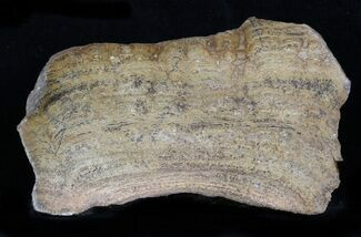 Chlorellopsis coloniata (Reis, 1923) - Fossils For Sale - #57573