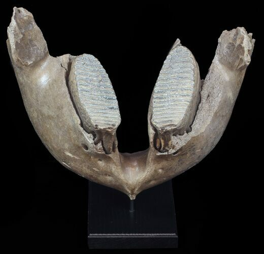 "21.5"" Wide Woolly Mammoth Lower Jaw With M3 Molars"