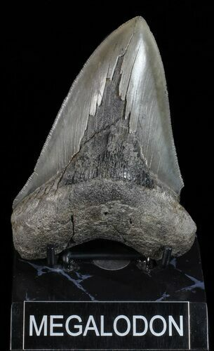 "Serrated, 5.06"" Fossil Megalodon Tooth - Georgia"