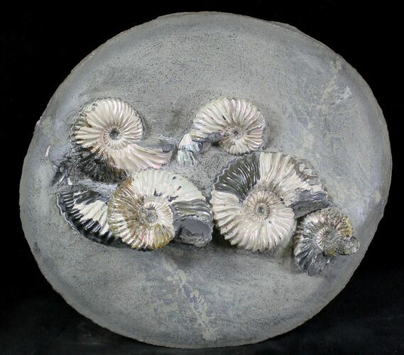 "7.8"" Wide Russian Deschaesites Ammonite Cluster - Gorgeous"