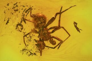 Fossil Spider (Aranea) In Baltic Amber For Sale, #58091