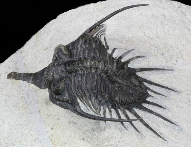 "2.2"" Spiny Psychopyge Trilobite - Short Snout Species"