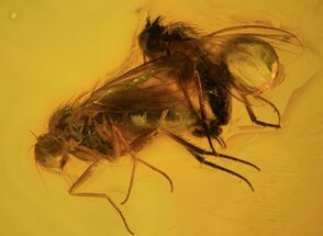Buy Mating Fossil Flies (Diptera) In Baltic Amber - #58072