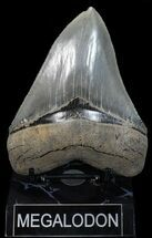 Carcharocles megalodon - Fossils For Sale - #58065