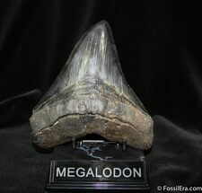 Carcharocles megalodon - Fossils For Sale - #705