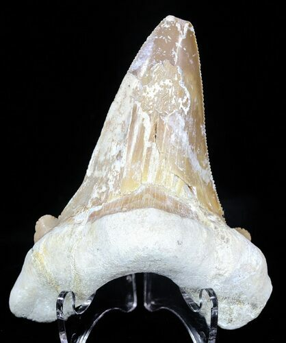 "3.23"" Auriculatus Shark Tooth - Dakhla, Morocco (Repaired)"