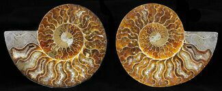 "Buy 5.1"" Cut & Polished Ammonite Pair - Agatized - #58714"