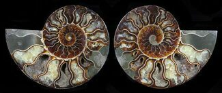 Cleoniceras - Fossils For Sale - #58722