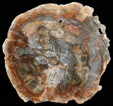 "13.5"" Colorful Petrified Wood Round - Madagascar For Sale, #58811"