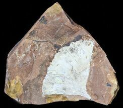 "2.6"" Fossil Ginkgo Leaf From North Dakota - Paleocene For Sale, #58985"