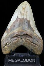 Carcharocles megalodon - Fossils For Sale - #59010