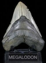"Buy Large, 5.44"" Megalodon Tooth - North Carolina - #59017"