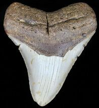 "4.23"" Megalodon Tooth - North Carolina For Sale, #59117"