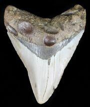 "Buy 3.41"" Megalodon Tooth - North Carolina - #59122"
