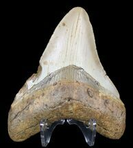 "Buy 4.37"" Megalodon Tooth - North Carolina - #59074"