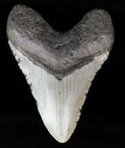 "Buy 4.11"" Megalodon Tooth - North Carolina - #59056"