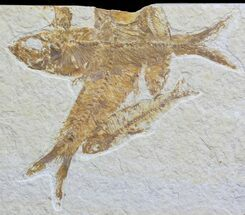 Overlapping Multiple Fossil Fish (Knightia) - Wyoming For Sale, #59825