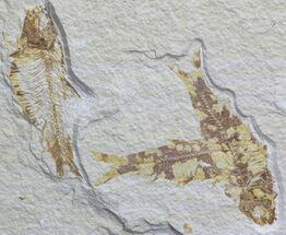 Multiple Fossil Fish (Knightia) - Wyoming For Sale, #59834