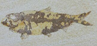 "4.2"" Knightia Fossil Fish - Wyoming For Sale, #59822"