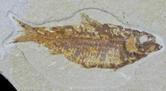 "Buy 4.5"" Knightia Fossil Fish - Wyoming - #59824"