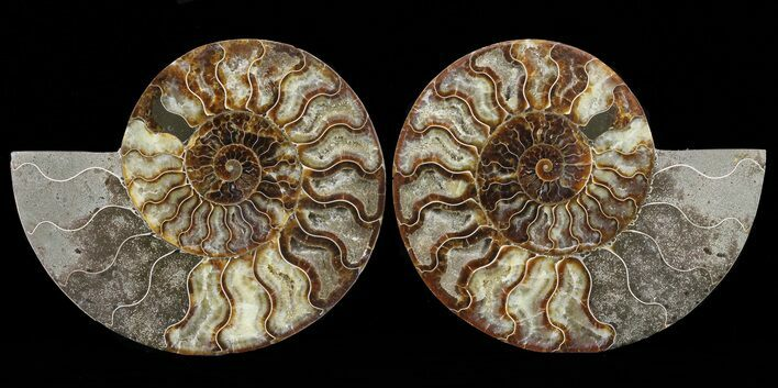 "7.2"" Cut & Polished Ammonite Pair - Agatized"