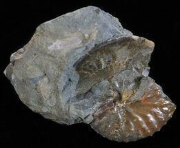 Buy Discoscaphites & Sphenodiscus Ammonites - South Dakota - #60238