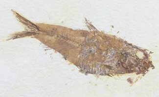 "3.7"" Knightia Fossil Fish - Wyoming For Sale, #60476"