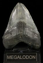 Carcharocles megalodon - Fossils For Sale - #60492